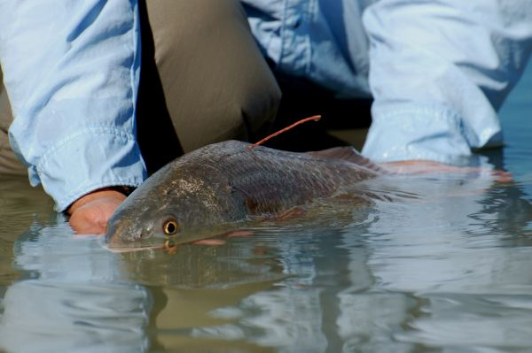 Release of a tagged Redfish