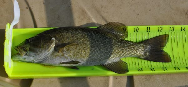 smallmouth on a hawg trough