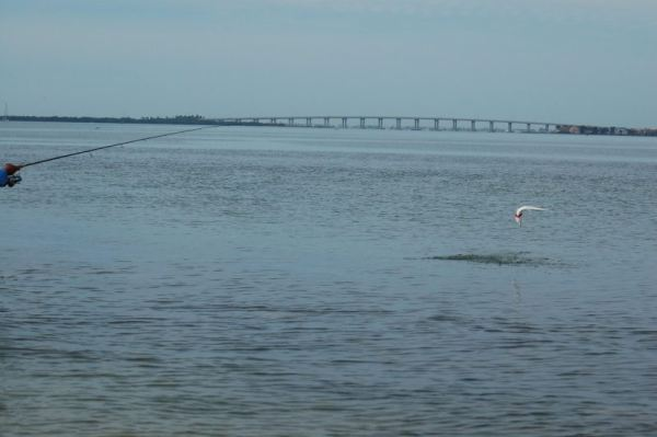Jumping Ladyfish in Tampa Bay