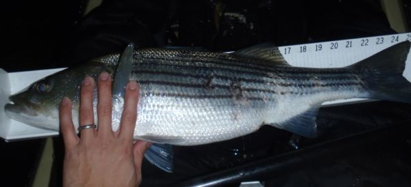 kayak_fishing_striper