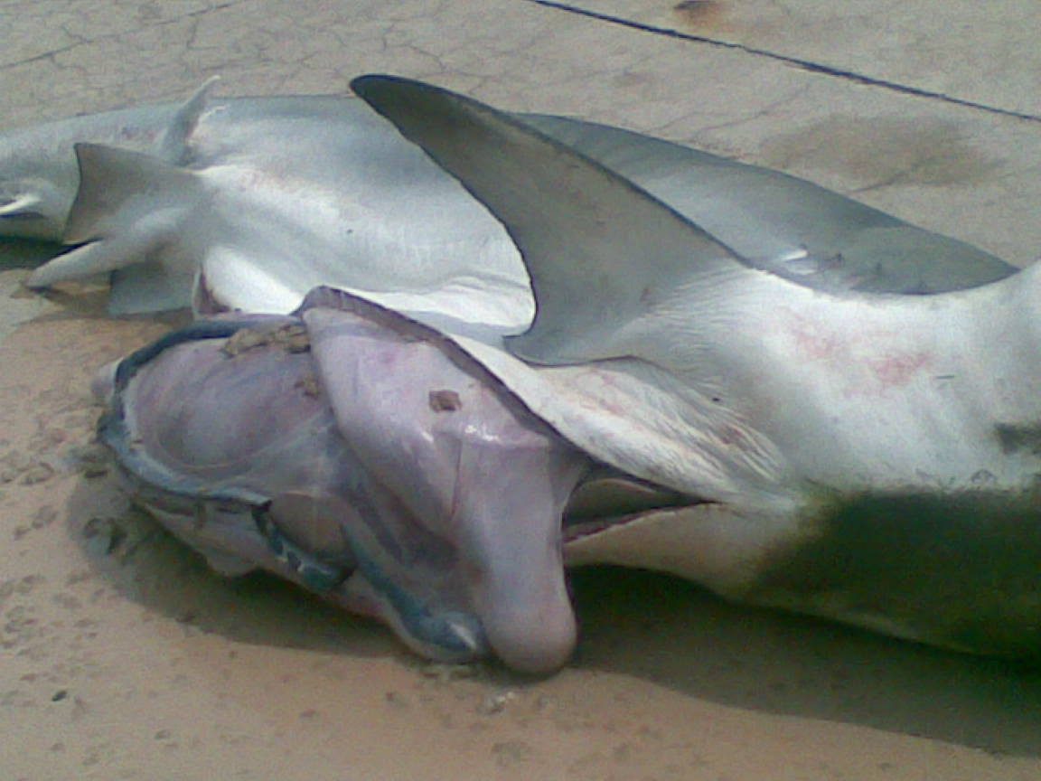 Fisherman Catches Shark With Human Body Parts In It