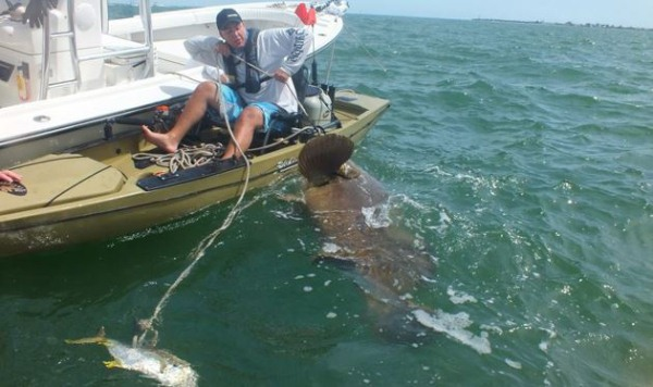 goliath-grouper-from-a-kayak