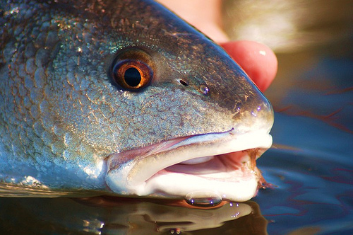 Redfish_Close_Up