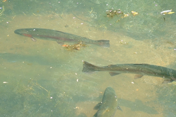 trout_swimming_1
