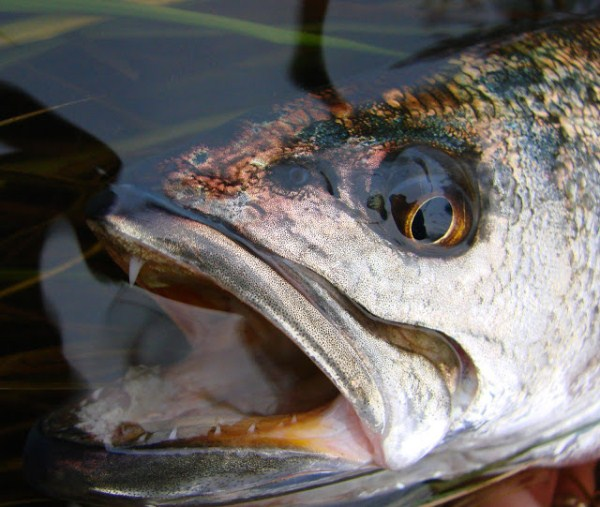 seatrout closeup