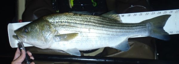 kayak fishing striper