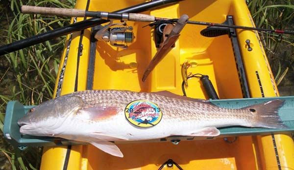 Winning Redfish caught by Curtis Cleary