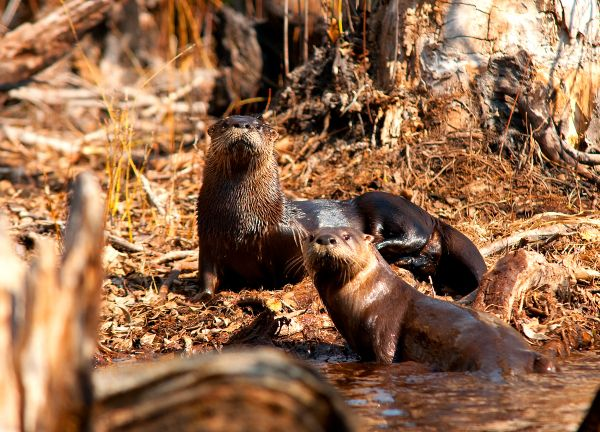 Otters in the Stream