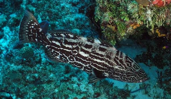 Could A Grouper Ban Cause More Hardship Than Good?