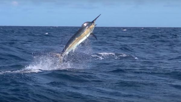 Kayak Angler Spends Almost 5 Hours Battling 500-pound Black Marlin