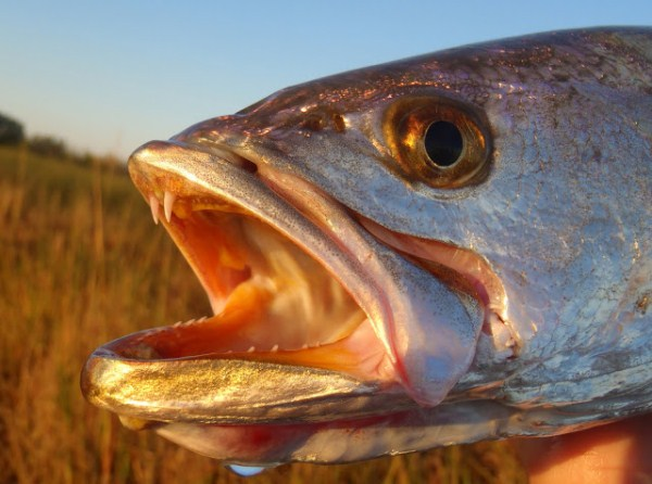 speckled trout eye close up